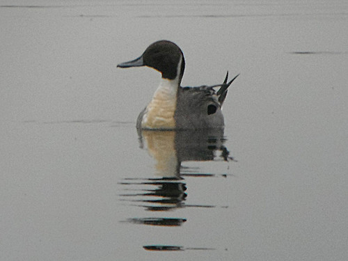 Pintail Anas acuta Tophill Low NR, East Yorkshire March 2013