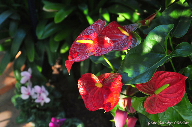 anthurium_web