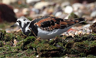 turnTurnstone Arenaria interpres Spurn Point, East Yorkshire Spring 2010