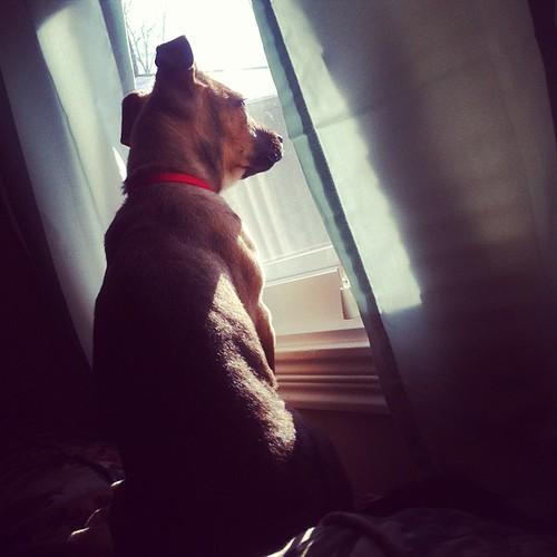 My little watch dog... precious. #doglove #guarddog