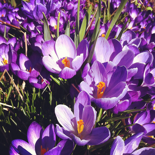 Signs of Spring - crocuses