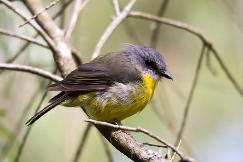 Eastern Yellow Robin 2013-02-10 (_MG_0248)