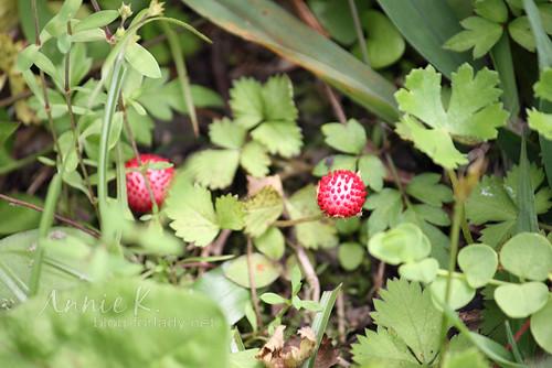 草地_蛇莓