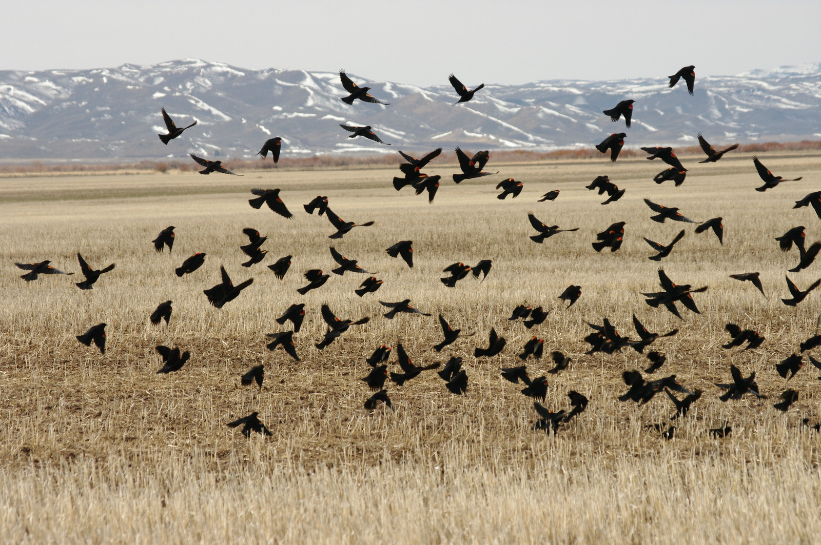 Red-Winged Blackbirds rise from a field of stubble in Camas County Idaho
