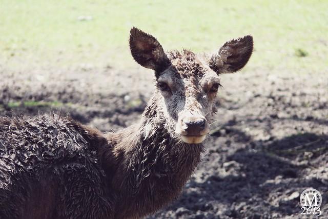 The Deer at Bedford's Park
