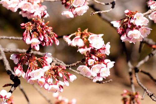 カンザクラ (寒桜)