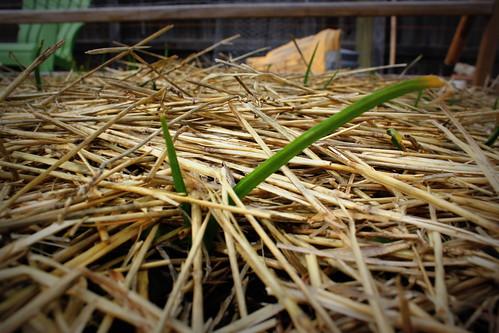 20130330. Baby garlic!
