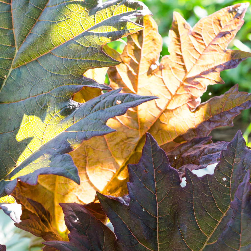three rhubarb leaves