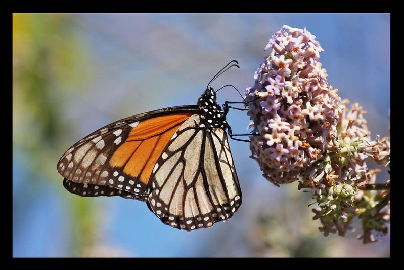 Butterfly at the Santa Cruz Arboretum