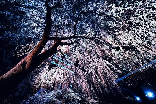 Shidare Sakura At Night #1 by hidesax