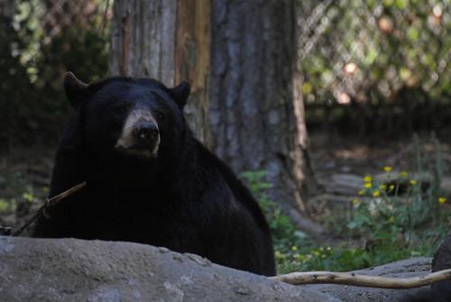 Bear by ambermae