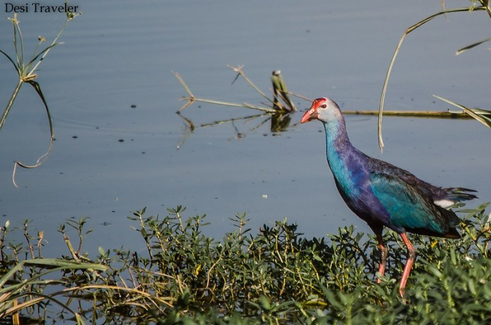 Purple Moorhen- Porphyrio porphyrio in a swamp in ICRISAT