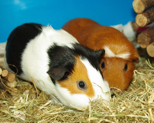 20130323-05_Patch + Tufty - Guinea Pigs or Cavies by gary.hadden