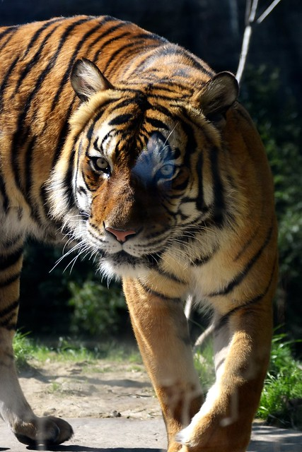 Tiger Glare