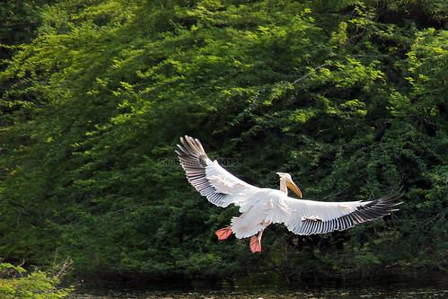 Pelican - 12 by ShubhenduPhotography