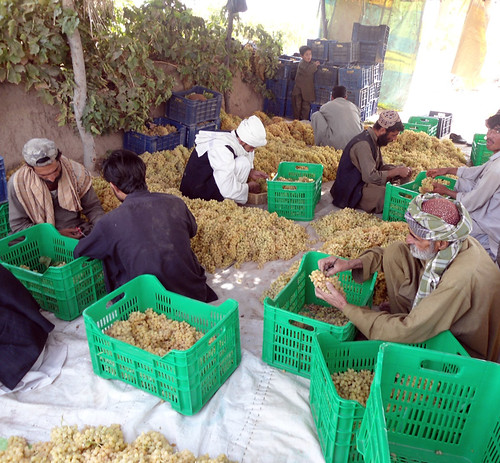 Pakistani farmers from the Balochistan Province prepare grapes for storage. The remodeled storage unit will help Safina Cold Storage and local farmers reach a wider customer base by offering fruits and vegetables that retain their freshness and quality and generate higher profits.  (Courtesy Photo)