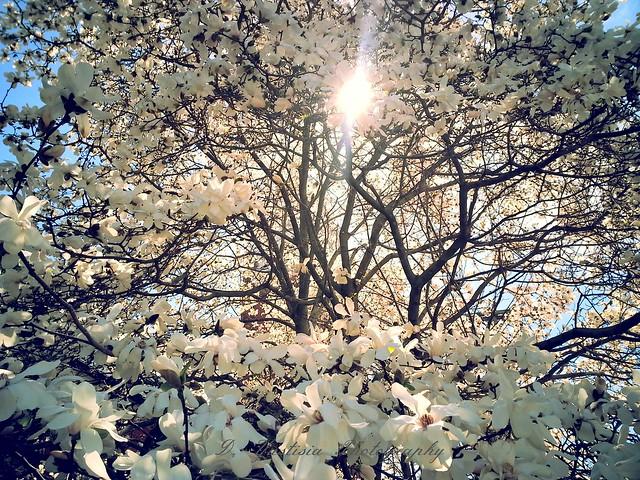 Abundance of Magnolia