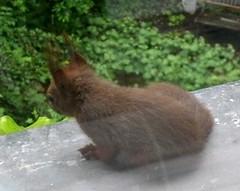 Eichhörnchen 11
