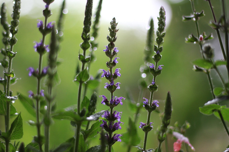 rain drops on salvia