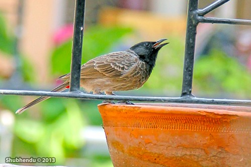 Red-vented Bulbul -Pycnonotus cafer by ShubhenduPhotography
