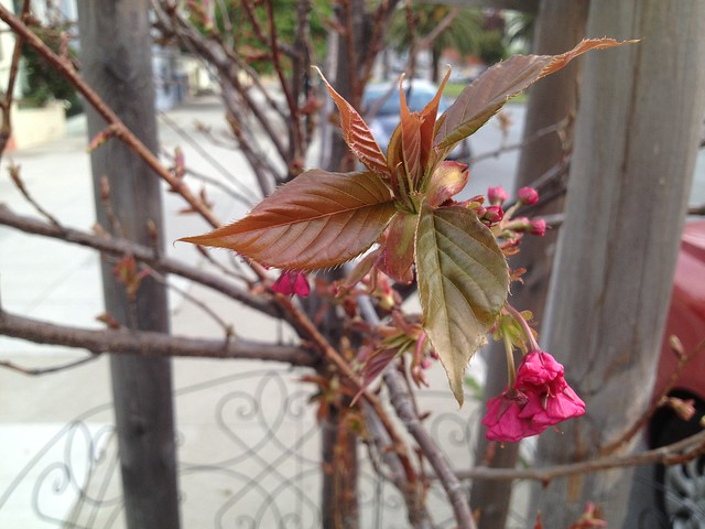 Emerging Prunus tree