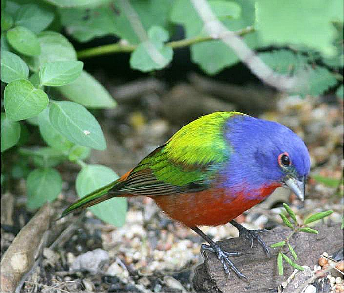 A Painted Bunting in his coat of many colors