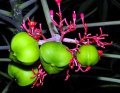 CORAL BUSH  /  CORAL PLANT  #3   (Sanskrit = VISHABHADRA)