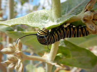 caterpillar dude