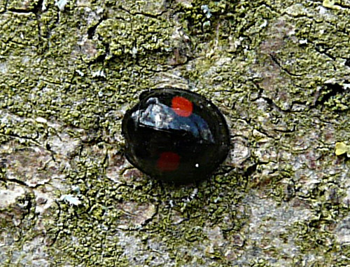 Chilocorus renipustulatus Kidney-spot Ladybird Tophill Low NR, East Yorkshire April 2013