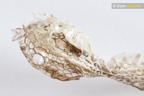 Head of adder skin