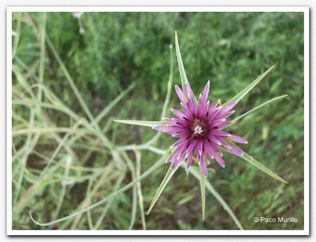 Tragopogon angustifolius Bellardi ex Willd - 2 -