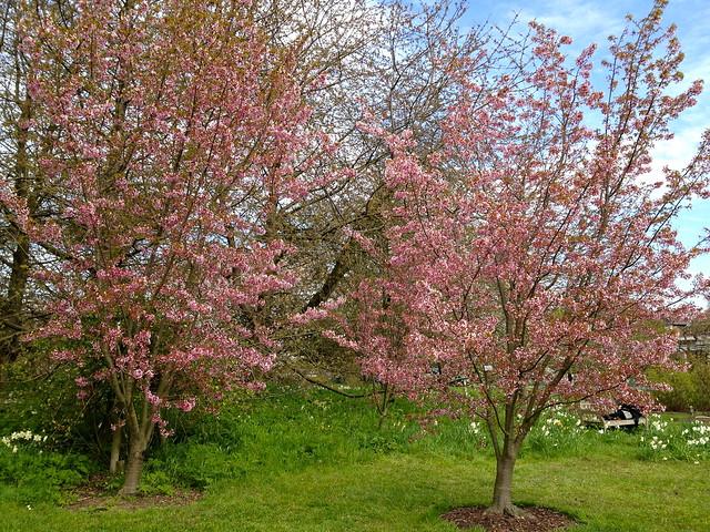 Kew cherry blossom - Prunus Sargentii