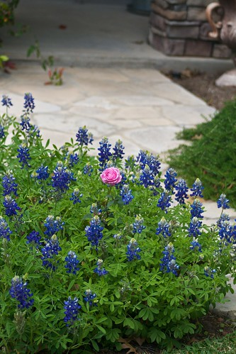 Hermosa in Bluebonnets