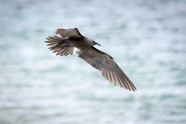 Brown Noddy in flight