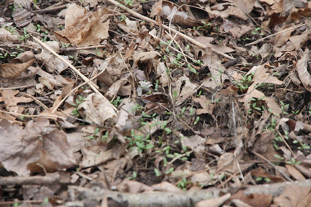 shabbona county park spring woodland garlic mustard seedlings