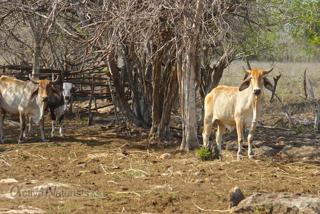 cows 0000 cenote Kaipech, Yucatan, Mexico