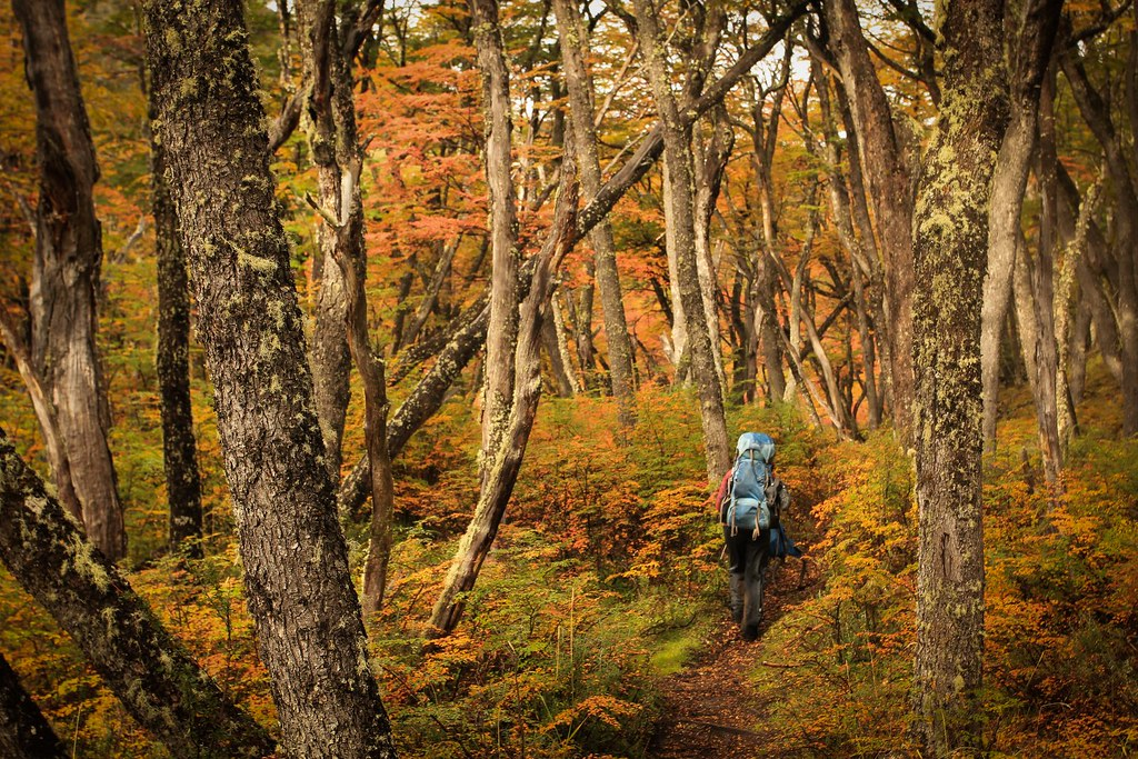 April. Autumn glow in lenga forrest. On the border between Chile and Argentina. Lago del Desierto. Patagonia.
