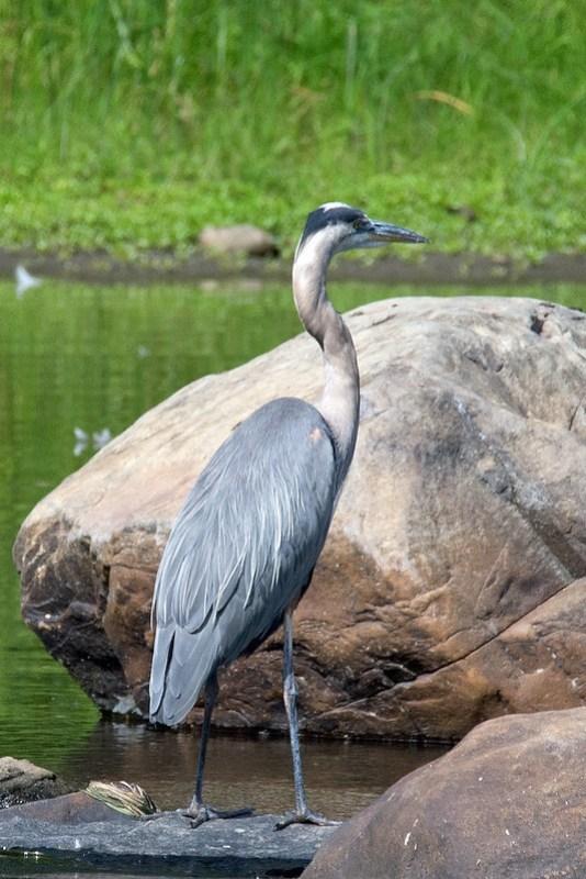 _DSC4128 Great Blue Heron