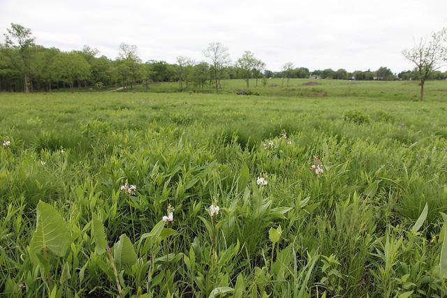 Schulenberg Prairie Morton Arboretum Sporobolus heterolepis prairie dropseed by Cassi Saari