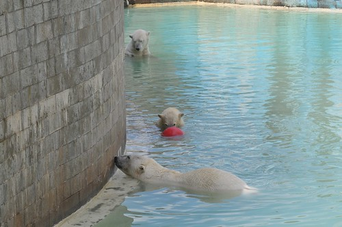 Eisbären Blanche, Rocky und Qannik in der Monde Sauvage Safari in Aywaille