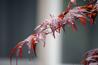 A Japanese Maple branch, dripping with rain.