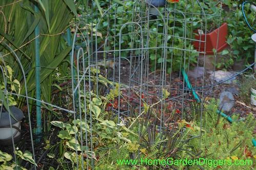 Fence Around Crocosmia