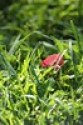 197/366 Red Leaf in Grass