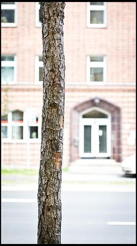 Straßenbaum