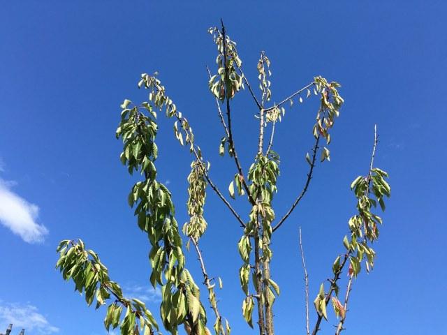 kersen boom moestuin cherry
