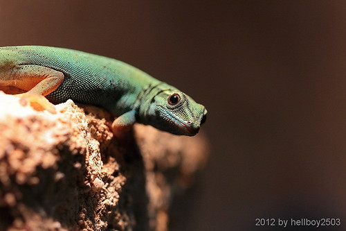 Taggeckos / Phelsumen (Phelsuma) by hellboy2503