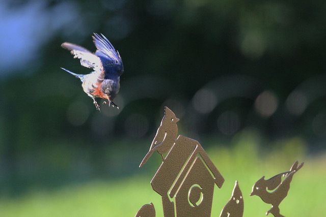 Young male bluebird flying in for a landing