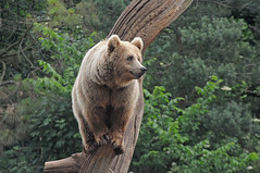 Braunbär im Zoo Kopenhagen