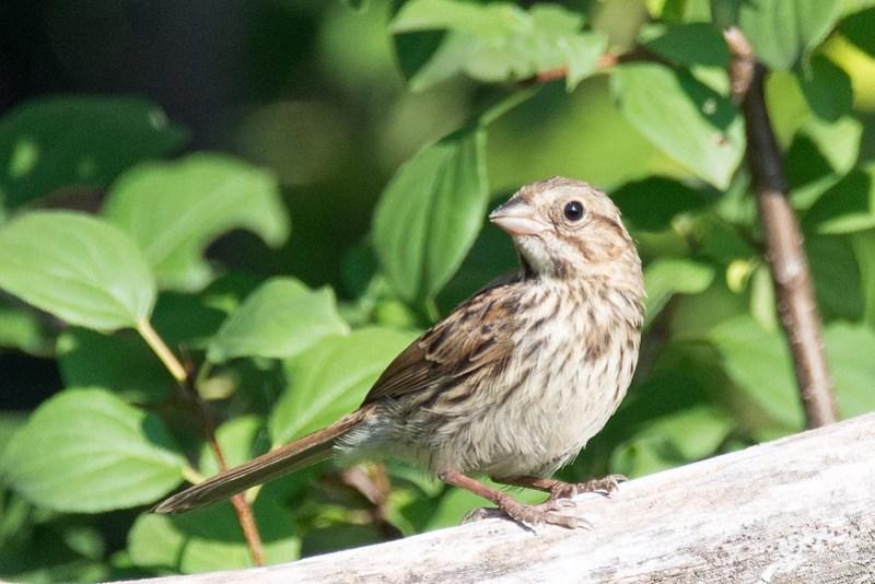 _DSC3150 Song Sparrow