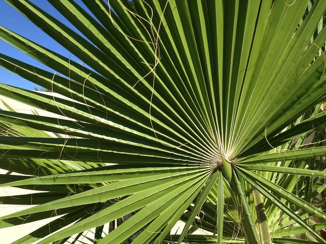 California fan palm tree (Washingtonia filifera, Arecaceae)